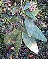 Syzygium Munronii 03.JPG