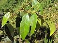 Syzygium zeylanicum 16.JPG