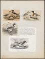 Tadorna cornuta - 1700-1880 - Print - Iconographia Zoologica - Special Collections University of Amsterdam - UBA01 IZ17600275.tif