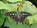 Tailed jay from Madayi IMG 8197.jpg