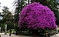 Talca, rosado (41420045554).jpg