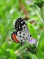 Talicada nyseus - Red Pierrot at Nilambur (9).jpg