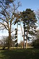 Tall trees in Ickworth Park - geograph.org.uk - 1221208.jpg