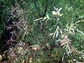Tamarix gallica DehesaBoyal2.jpg