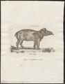 Tapirus americanus - 1700-1880 - Print - Iconographia Zoologica - Special Collections University of Amsterdam - UBA01 IZ22000269.tif