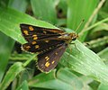 Taractrocera ceramas – Tawny-spotted Grass Dart - Tamil Grass Dart. 08.jpg