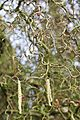 Tatton Park 2015 11 - Corkscrew Hazel.jpg