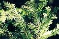 Taxus canadensis 1218072.jpg