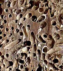 madera atacada por chancies