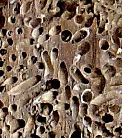 Teredo navalis in wood.jpg