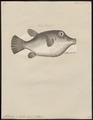 Tetrodon rostratus - 1700-1880 - Print - Iconographia Zoologica - Special Collections University of Amsterdam - UBA01 IZ15500123.tif
