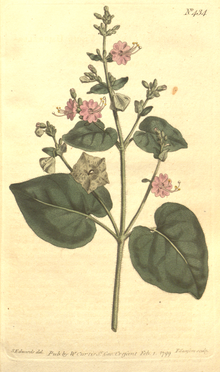 The Botanical Magazine, Plate 434 (Volume 13, 1799).png