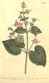 The Botanical Magazine, Plate 434 (Volume 13, 1799).png