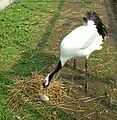 The Red Crowned Crane with nest and egg. European crane foundation C 2012 Harry Geurts (cropped).jpg