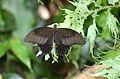 The Red Helen (Papilio helenus) (23894814783).jpg