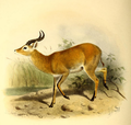 The book of antelopes (1894) Cobus thomasi.png
