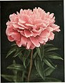 The book of the peony (1917) (20212535379).jpg