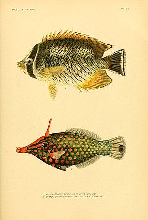 The fishes of Samoa (Plate L) (5998452211).jpg