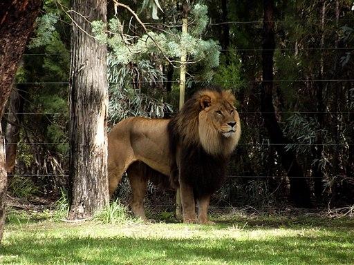 The mighty lion - panoramio