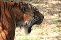 The roaring tigress of The Banreghatta National Park.jpg
