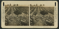 The vineyards and prune orchards of the Napa Valley, Cal, by H.C. White Co. 2.png
