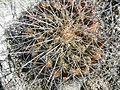 Thelocactus tulensis ssp. matudae (5726906183).jpg