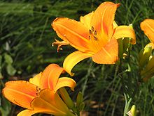 These daylilies.jpg