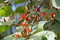 Thick-billed Flowerpecker (Dicaeum agile) on Helicteres isora W IMG 1379.jpg