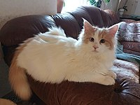 Thor, turkish van.jpg