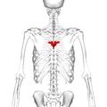 Thoracic vertebra 6 posterior.png