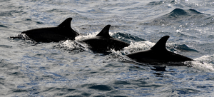 English: three dolphins at pacific ocean