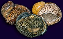 Three populations of Chrysomallon squamiferum.jpg