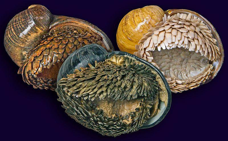File:Three populations of Chrysomallon squamiferum.jpg