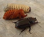 Three stages rhinoceros beetle.jpg