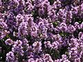 Thymus pulegioides flowering 01.JPG