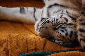 Tiger cub, exhausted after playing all day wit...