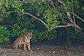 Tigress sitting under a tree at Sundarban.jpg