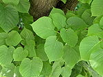 Tilia × europaea leaves