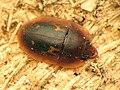 Tiny Sap-feeding Beetle (33092498886).jpg