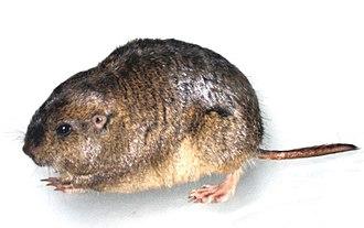 Tuco-tuco - Female Haig's tuco-tuco, (Ctenomys haigi)