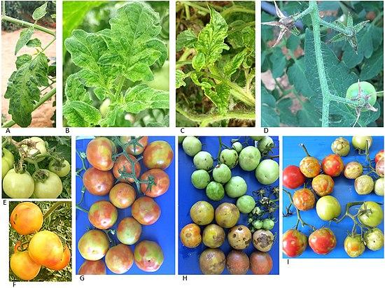 tomate cu boală articulară