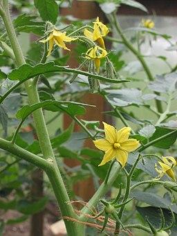 Tomaat bloem