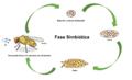 Transmissão vertical de simbiontes Wolbachia e Drosophila.png