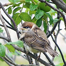 Eurasian Tree Sparrow Wikipedia