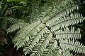 Tree Fern in Dominica.jpg