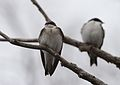 Tree Swallows (33886331101).jpg
