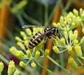 Tree Wasp - Dolichovespula sylvestris....side view - Flickr - gailhampshire.jpg