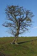 Tree takes human form - geograph.org.uk - 649859.jpg