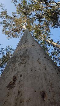 Tree trunk (upward view).jpg