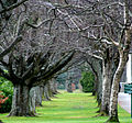 Trees at Queens Park in Invercargill.jpg